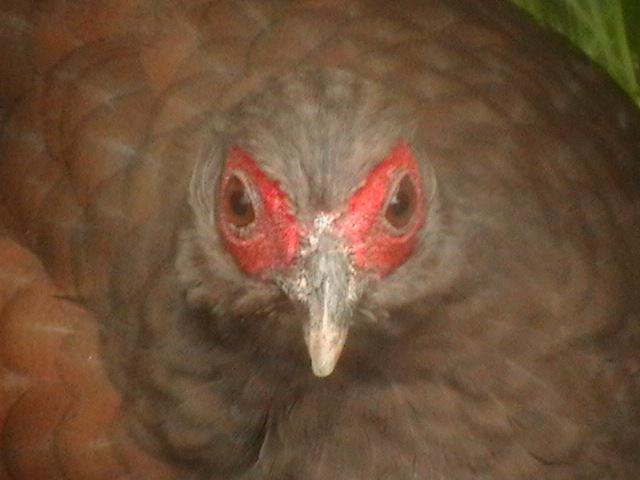 edwards pheasant 2 - Week 8 - Not the Jeremy Kyle show!