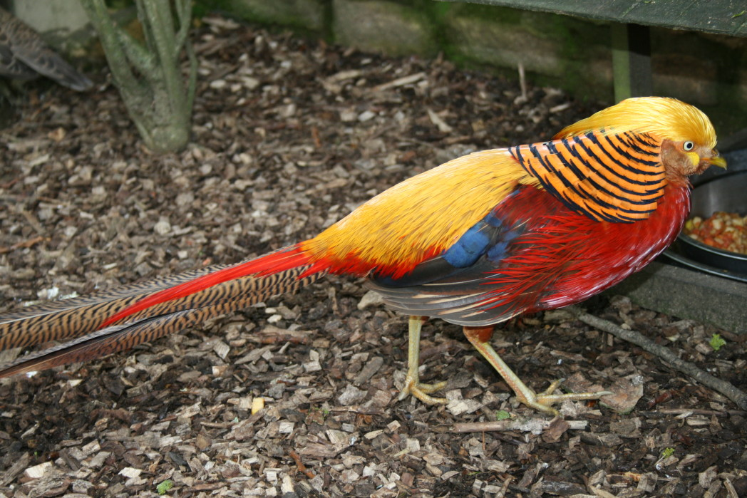 golden pheasant 7 2 - Week 8 - Not the Jeremy Kyle show!