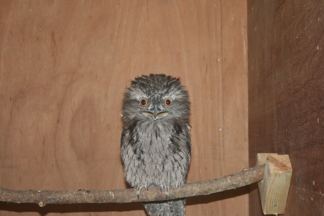 tawny frogmouth 4 2 - Week 7 - Love is in the air