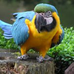 Blue & Gold Macaw parrot