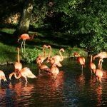 Flamingos at Birdland enjoying the sunshine. Gloucestershire JPG