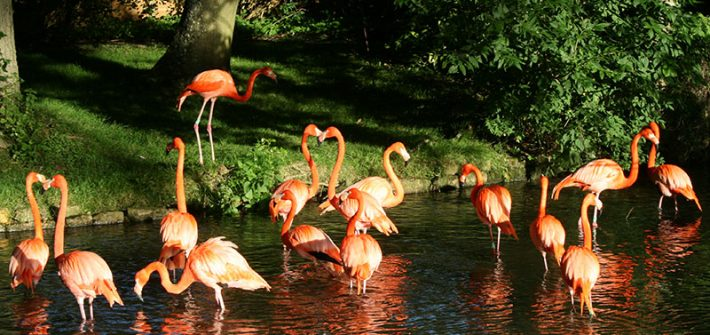 Flamingos at Birdland enjoying the sunshine. Gloucestershire JPG