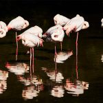 Flamingos, Out of Africa at Birdland Park and Gardens