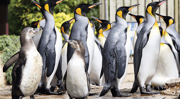 Humboldts and England's only group of King Penguins