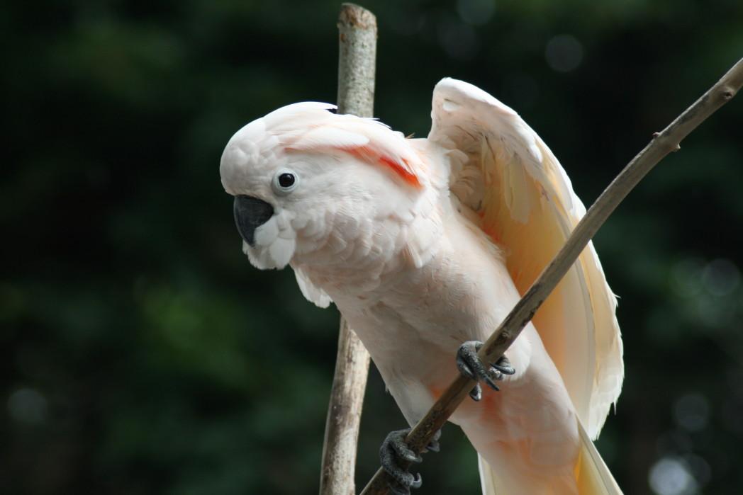 Moluccan Cockatoo 2 - Moluccan Cockatoo