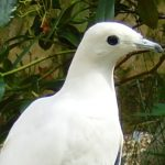 Pied-imperial-pigeon