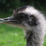 Close up of a Rhea