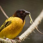 Village Weaver, Out of Africa at Birdland Park and Gardens