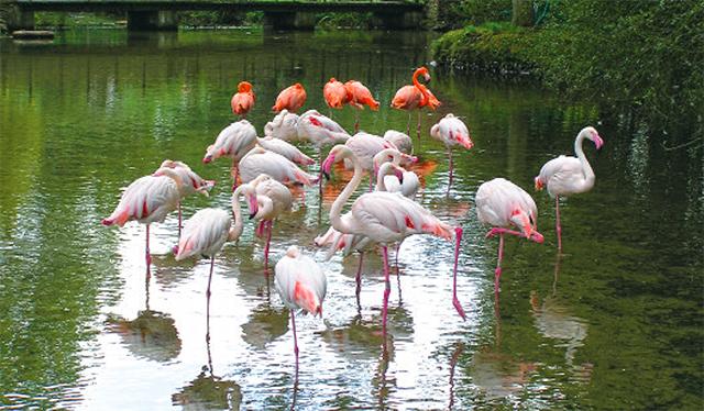 11.30 Flamingo Feed Flamingos