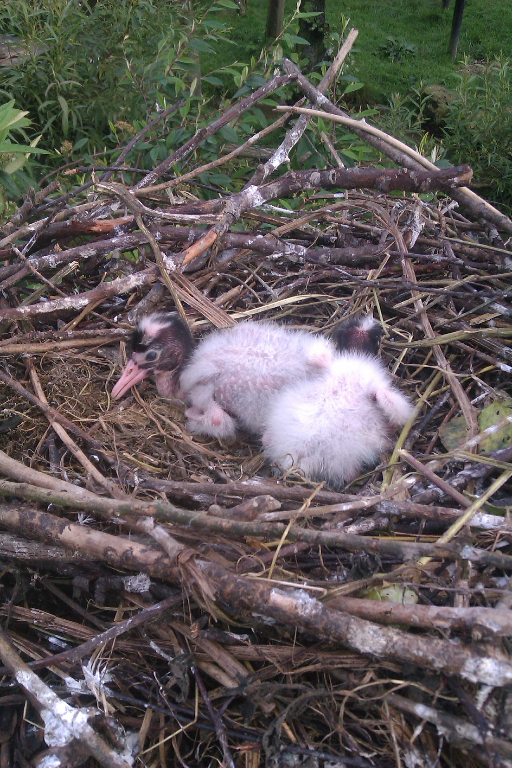 sacred ibis chicks 2 - Week 11 - It's all in the Planning