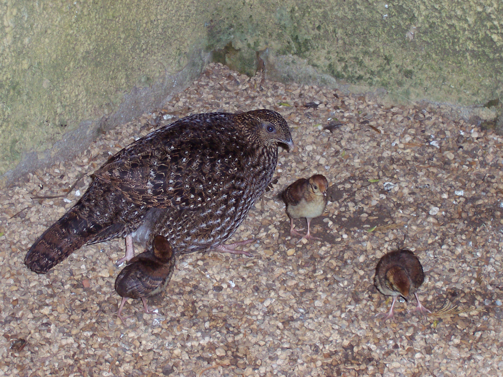tragopan chicks 2 - Week 10 - Magnificent Mothers