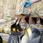 Birdland Penguin Shore display is fed daily at 2.30pm