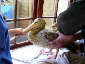 Pelican being cleaned 004