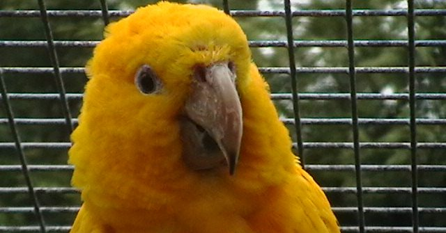 Golden Conure at Birdland, Bourton-on-the-Water, Cotswolds