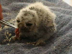 White Faced Scops Owl chicks (1)