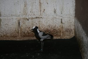Blacksmith Plover new bird
