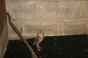 Burrowing Owl new male