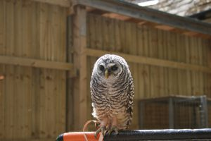 Chaco Owl 2013 (11)