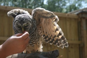 Chaco Owl 2013 (14)