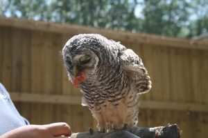 Chaco Owl 2013 (21)