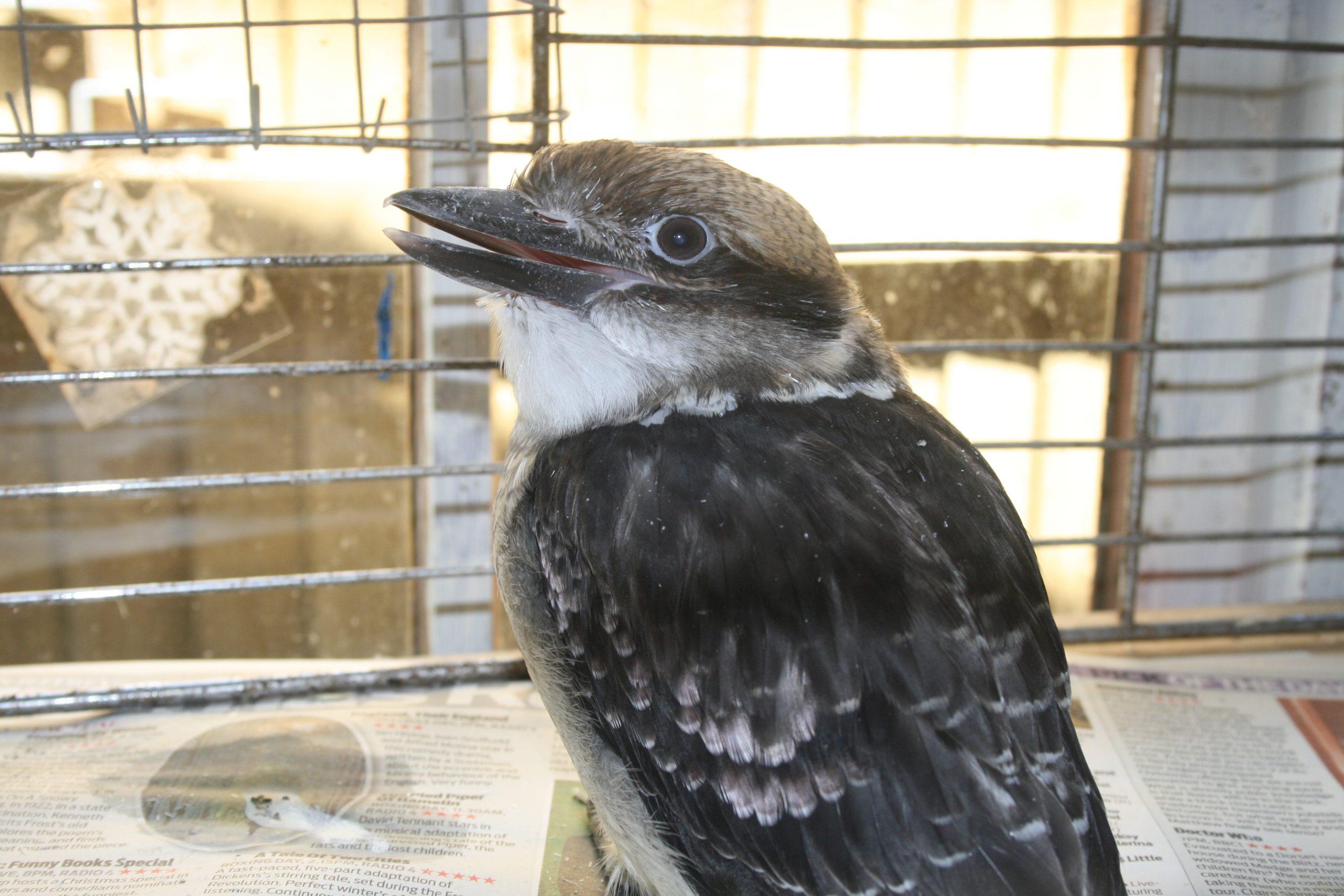 Kookaburra 2013 18 2 scaled - Week 30 - In the News