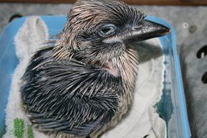 Kookaburra 2013 (8)