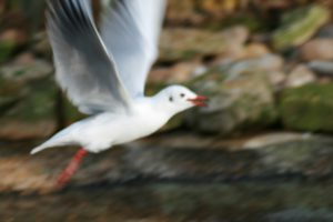 Black Headed Gull (4)