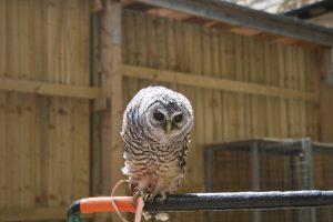 Chaco Owl 2013 10 300x200 - Week 31 - Owls