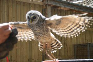 Chaco Owl 2013 12 300x200 - Week 31 - Owls