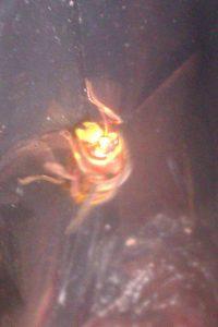 Hornet (6)