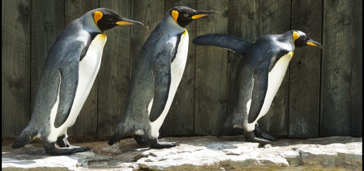 Missy leading the Kings 1 710x335 - World Penguin Awareness Day 18th -20th January 2014
