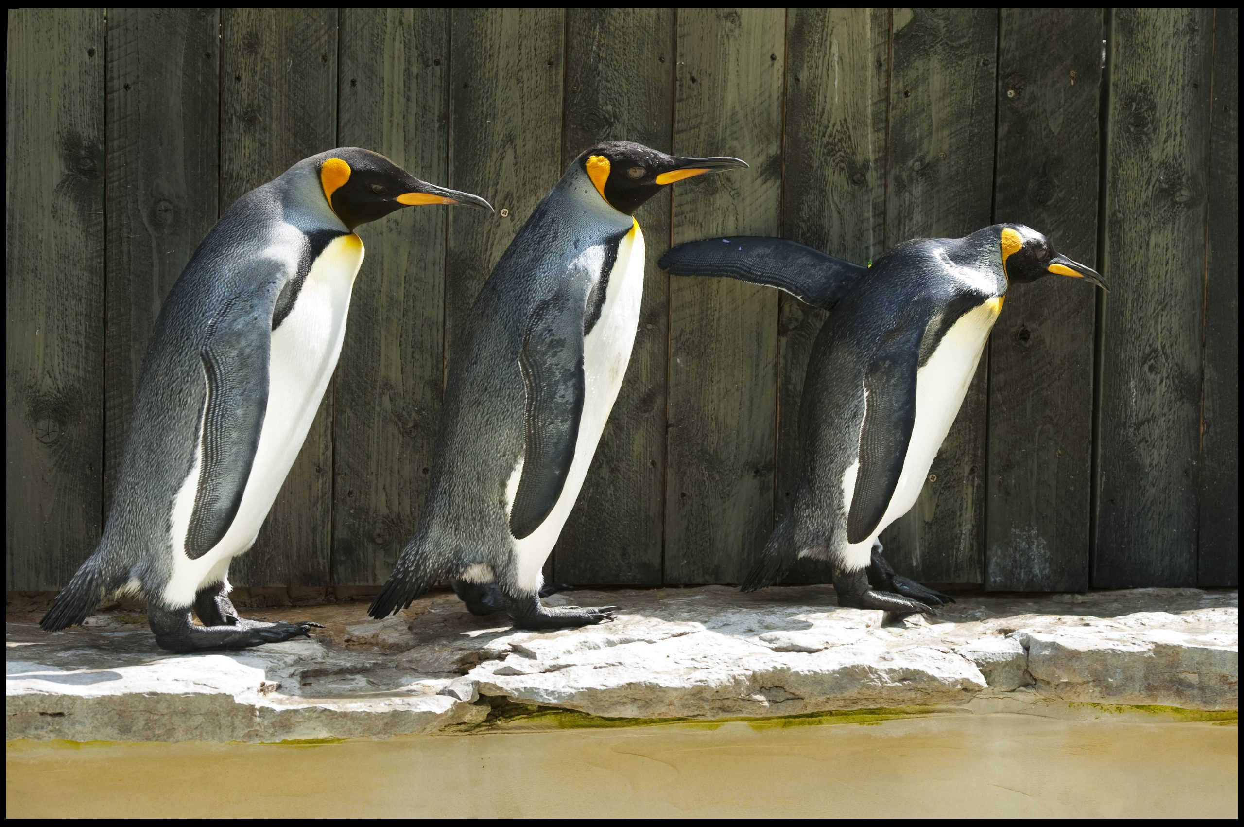 Missy leading the Kings 1 scaled - Is British King Penguin World's Oldest?