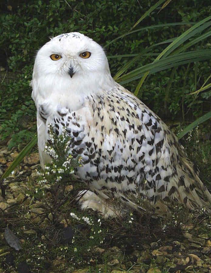 Snowy Owl 1 2 - Week 31 - Owls