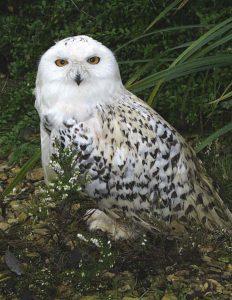 Snowy Owl (1)