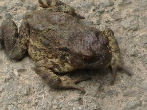 Toad (1)