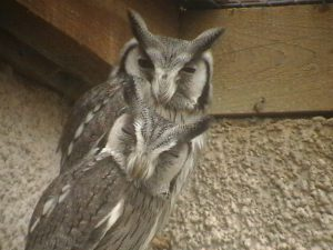 White Faced Scops Owl (2)