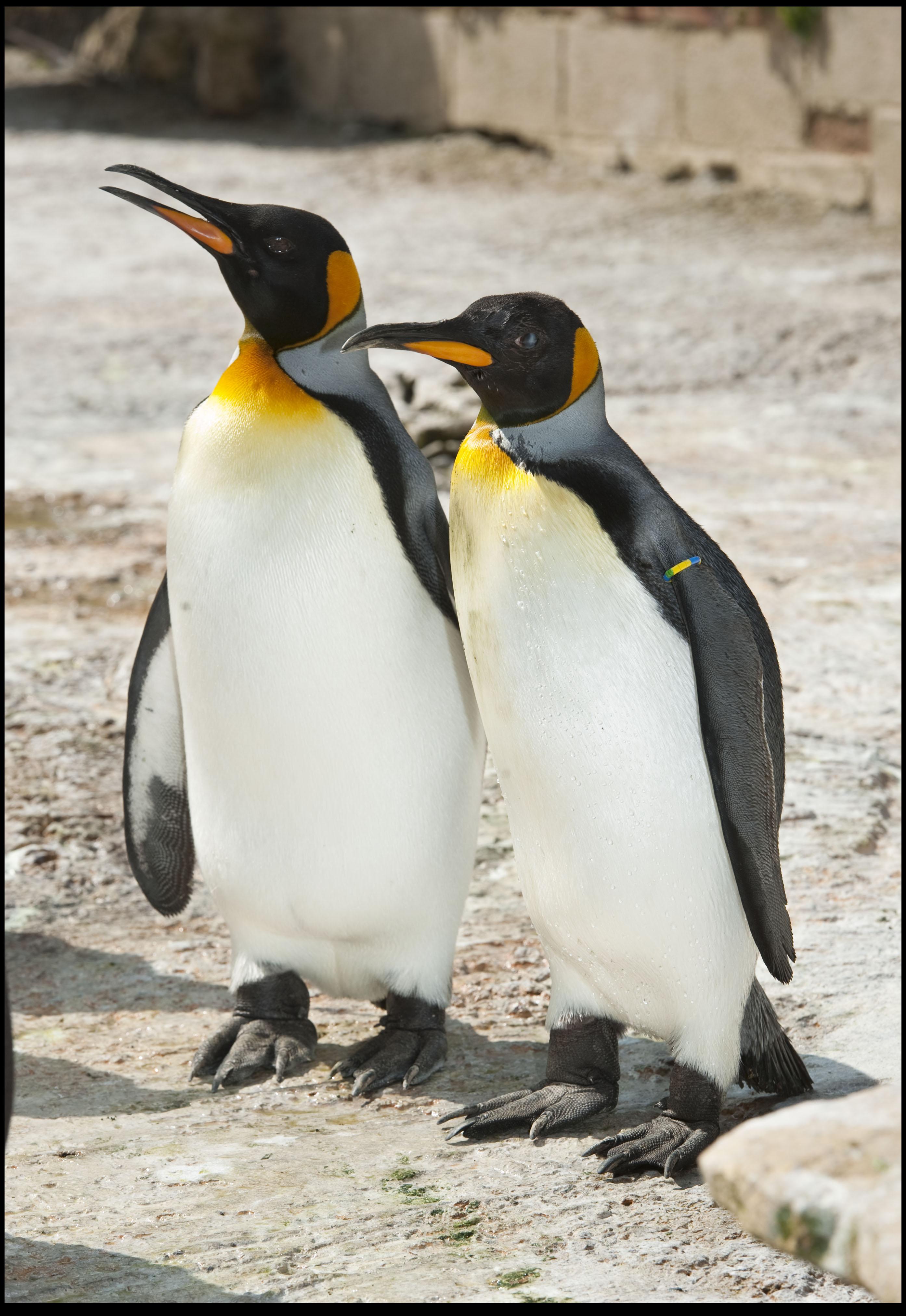 Is British King Penguin Worlds Oldest Birdland Park