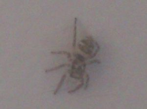 Zebra Spider blog