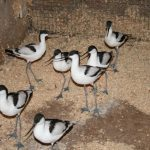 Avocets new (2) (Small)