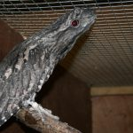 Frogmouth new (2) (Small)