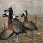 White Faced Whistling Duck new 2 Small 1 150x150 - White Faced Whistling Duck