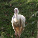 African Spoonbill (6) (Small)