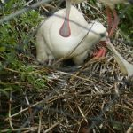African Spoonbill chick Small 150x150 - 9th of January 2014 - Species Spotlight African Spoonbill