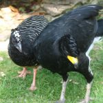 Bare Faced Curassow 1 Small 150x150 - 7th of February - Species Spotlight - Bare Faced Curassow
