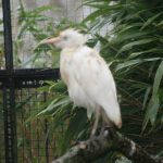 Cattle Egret (2) (Small)