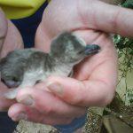 DSC01046 Small 150x150 - Species Spotlight - Humboldt Penguin