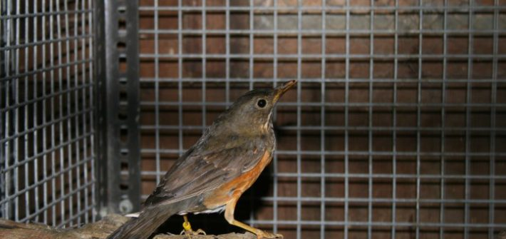IMG 6086 Small 1 710x335 - 14th of February 2014 - Species Spotlight Black Breasted Thrush