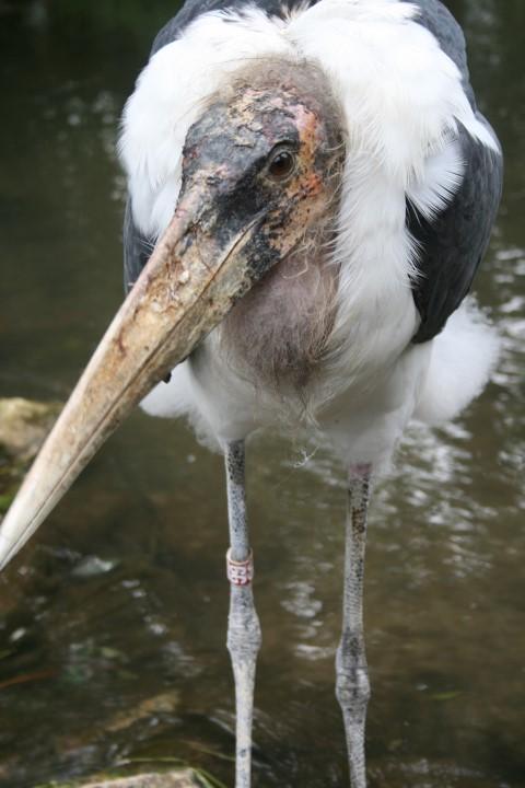 Marabou Stork 3 Small 1 - 21st February 2014 - Species Spotlight Marabou Stork
