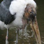 Marabou Stork (8) (Small)