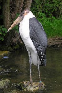 Marabou Stork at Birdland 200x300 - Ugly Stork Seeks Feathered Friend